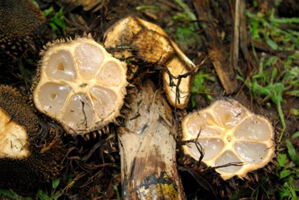 tagua-fruit